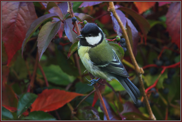 Great Tit in Autumn