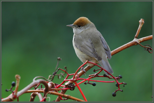 Blackcap  -  Female    (Sylvia atricapilla)