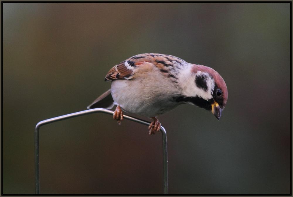Tree Sparrow   2/2    (Passer montanus)