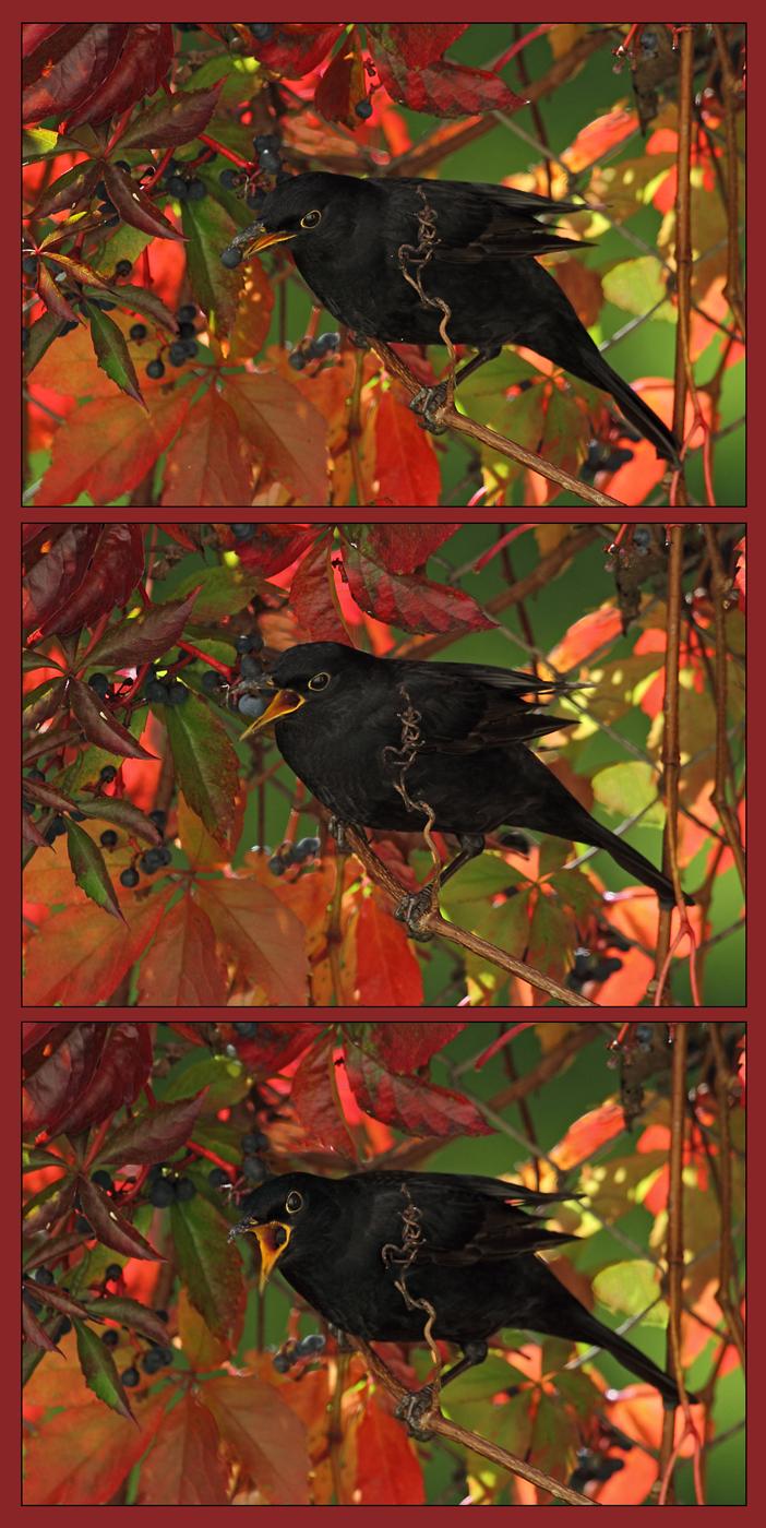 Blackbird  - Male