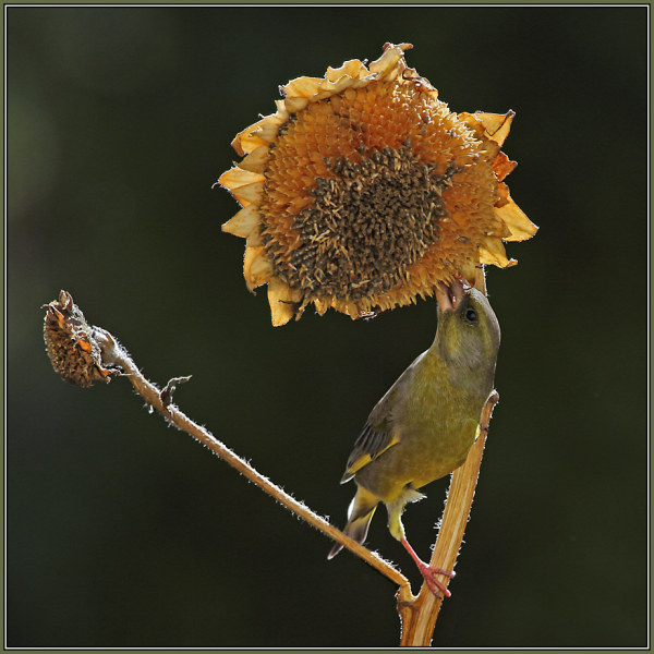 European Greenfinch - Male  (Carduelis chloris)