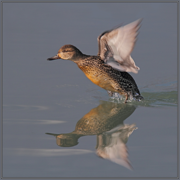 Common Teal - Female  (Anas crecca)
