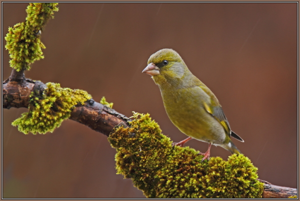 Greenfinch - Male  (Chloris chloris)