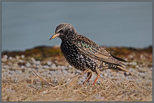 Common starling  2/2  (Sturnus vulgaris)