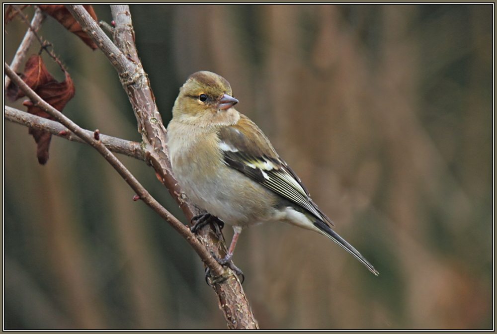 Common chaffinch - Female (Fringilla coelebs)