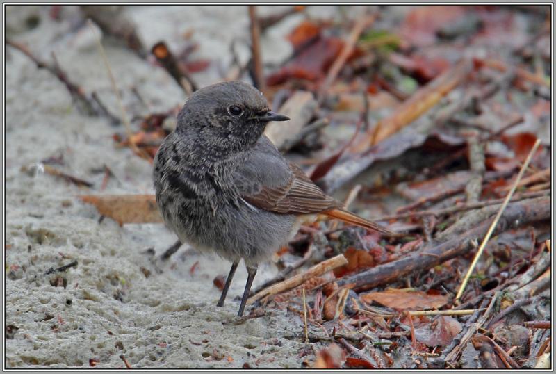 Black Redstart - Male (Phoenicurus ochruros)