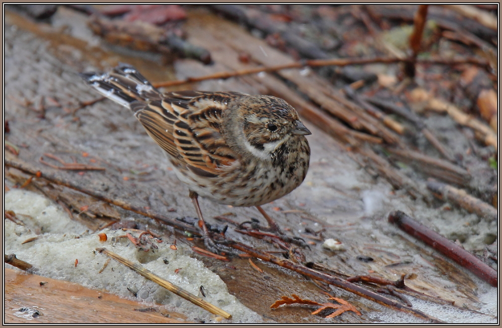Common Reed Bunting - Male (Emberiza schoeniclus)