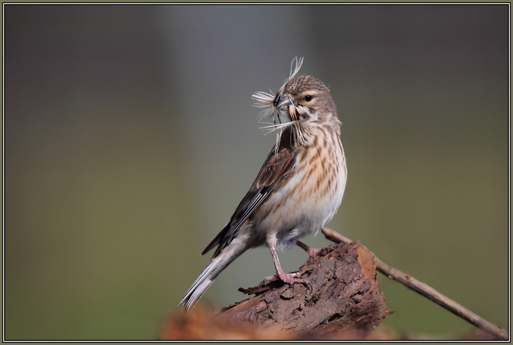 Common linnet - Female (Carduelis cannabina)