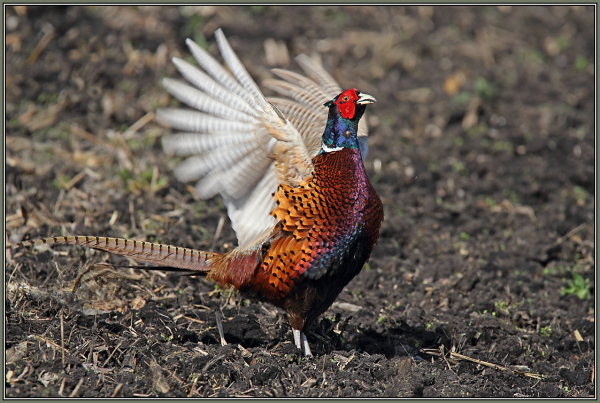 Common Pheasant - Male (Phasianus colchicus)