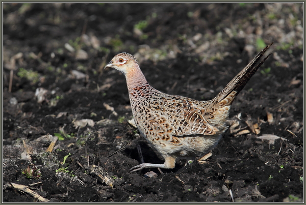 Common Pheasant - Female (Phasianus colchicus)