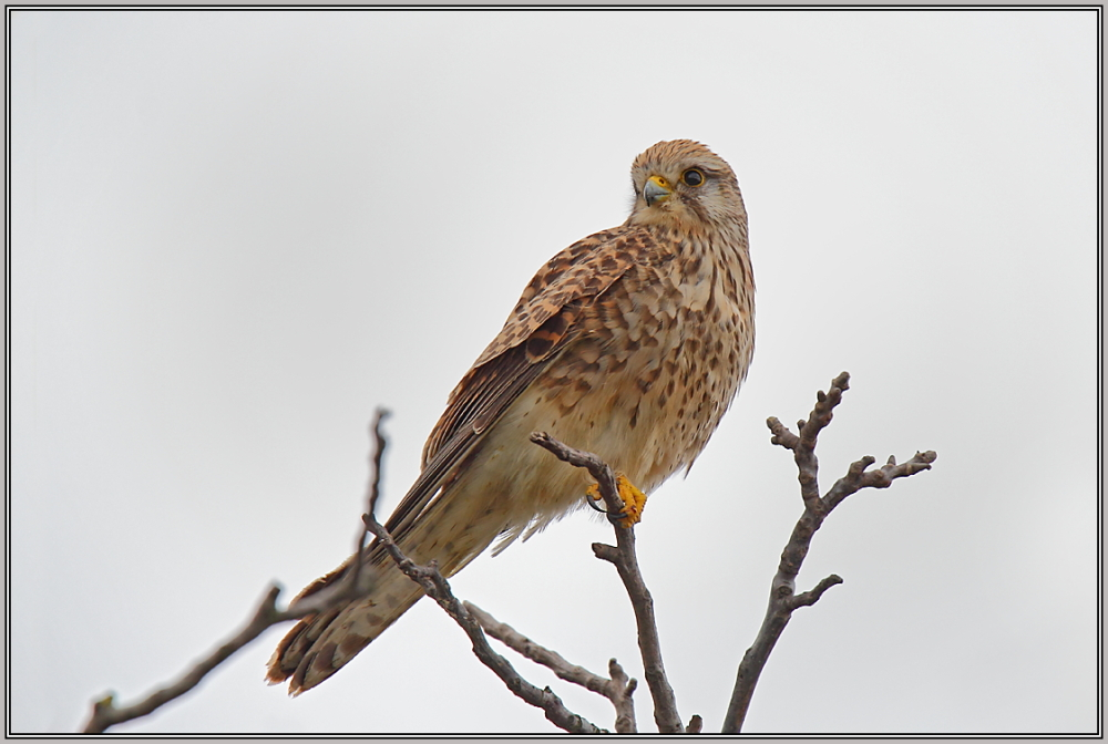 Common Kestrel - Female  (Falco tinnunculus)