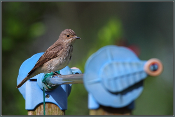 Spotted Flycatcher (Muscicapa striata) 1/3