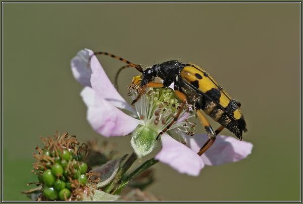 Gefleckter Schmalbock  ( Rutpela maculata )
