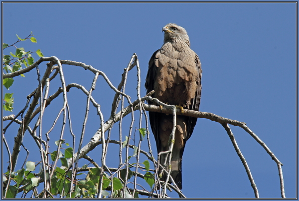 Black Kite (Milvus migrans)  1/2