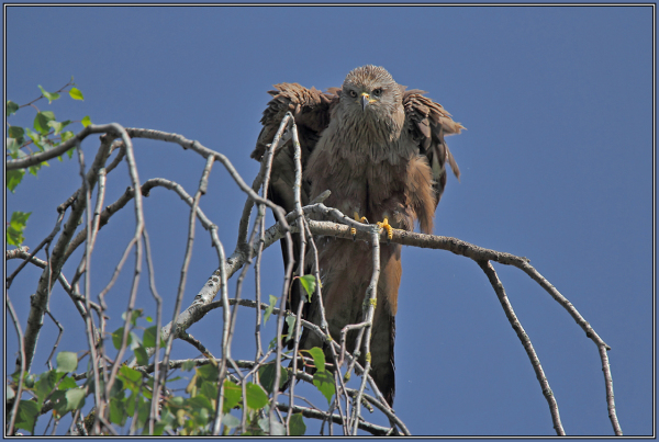 Black Kite (Milvus migrans)  2/2