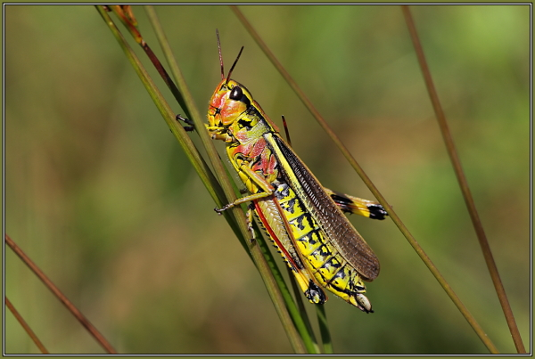 Large Marsh Grasshopper  (Stethophyma grossum)