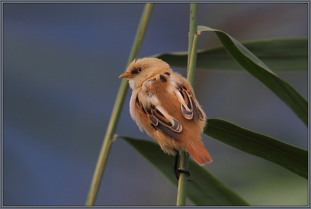 Bearded Reedling - juvenil  (Panurus biarmicus)