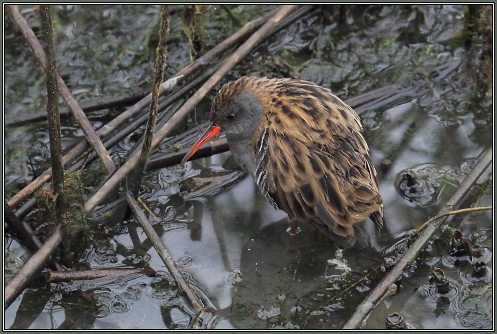 Water Rail     1/2   (Rallus aquaticus)
