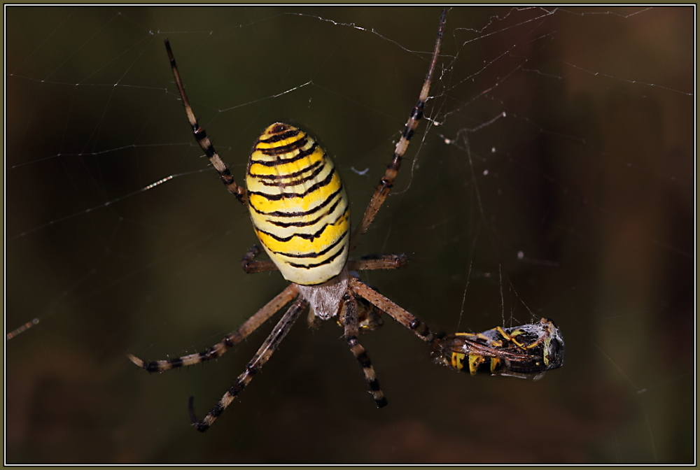 Wasp Spider - Female (Argiope bruennichi)