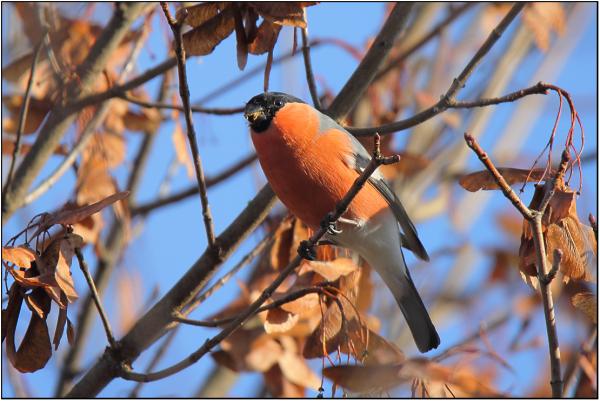 Eurasian Bullfinch - Male  (Pyrrhula pyrrhula) 1/2