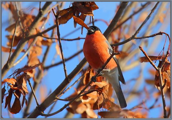 Eurasian Bullfinch - Male  (Pyrrhula pyrrhula) 2/2