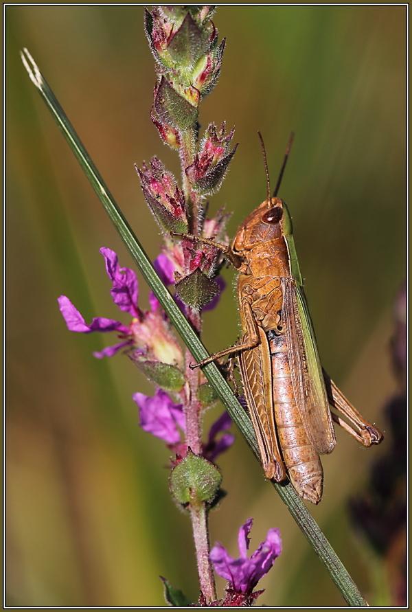 Feld-Grashüpfer (Chorthippus apricarius)