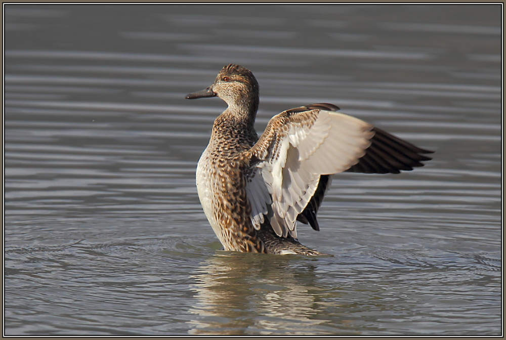 Common Teal (Anas crecca)  Female