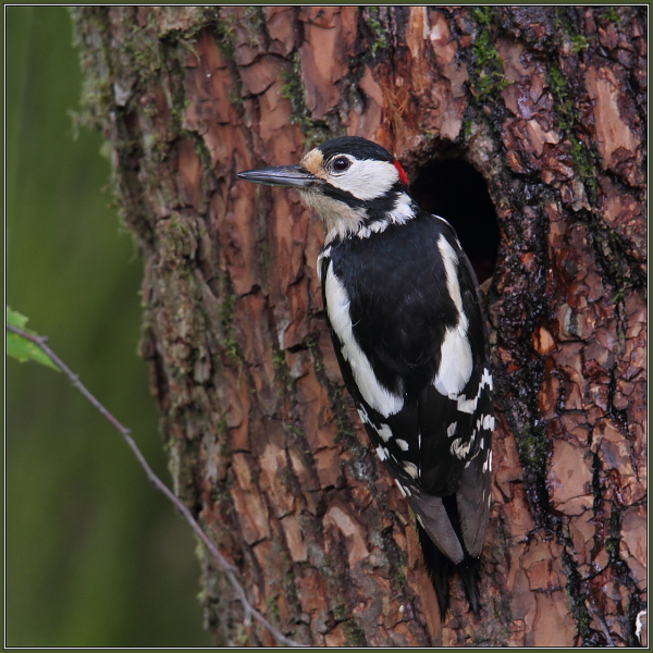 Great Spotted Woodpecker (Dendrocopos major)  1/3