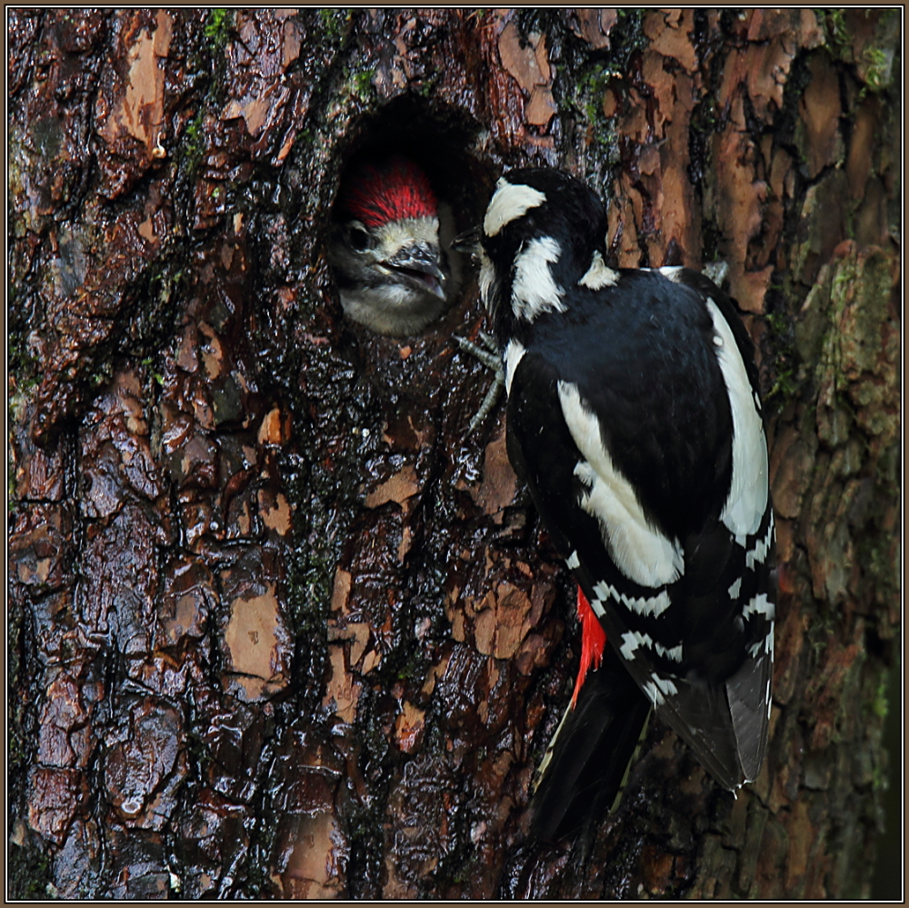 Great Spotted Woodpecker (Dendrocopos major)  3/3