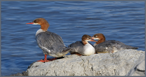 Common Merganser - Female with her Children