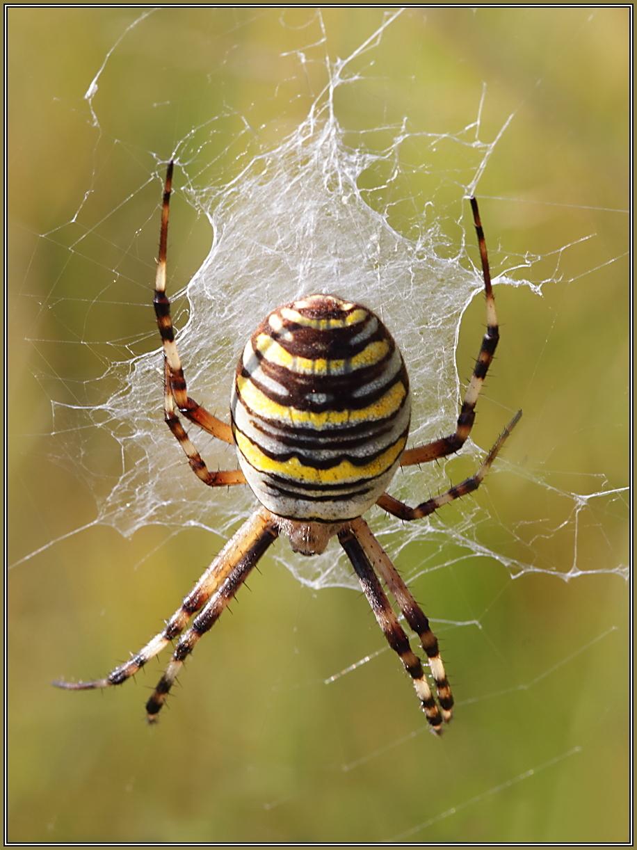 Wasp Spider(Argiope bruennichi)