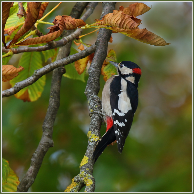 Great Spotted Woodpecker (Dendrocopos major) male