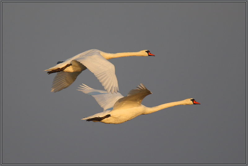 Mute swans in evening light