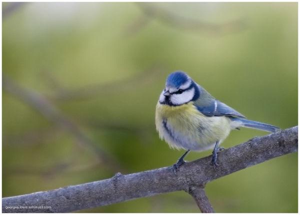 mésange, oiseau