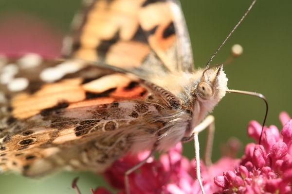 Butterfly's festin