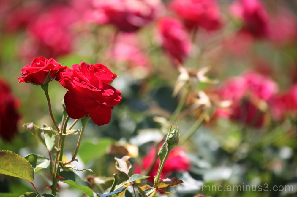 roses rouge fleurs bouquet