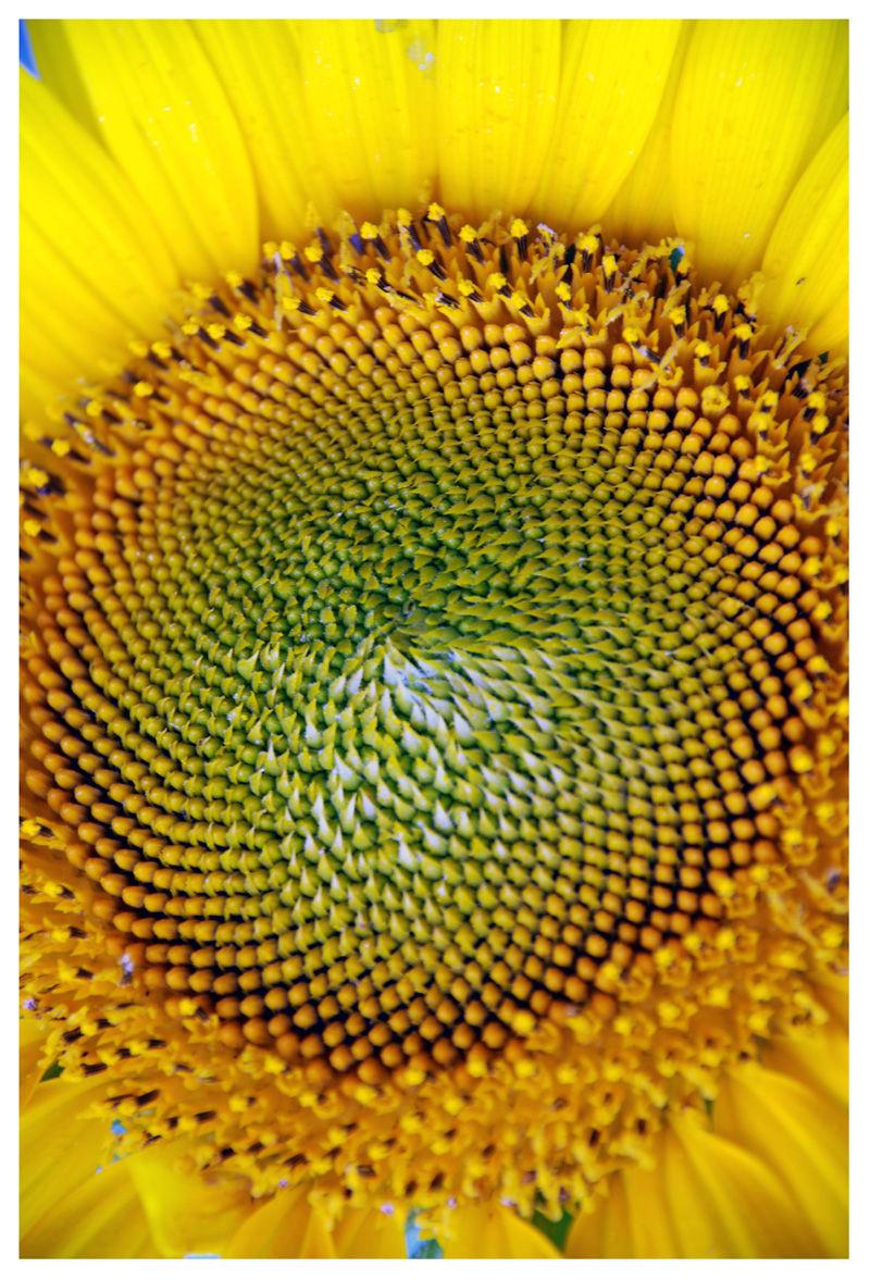 Sunflower closup