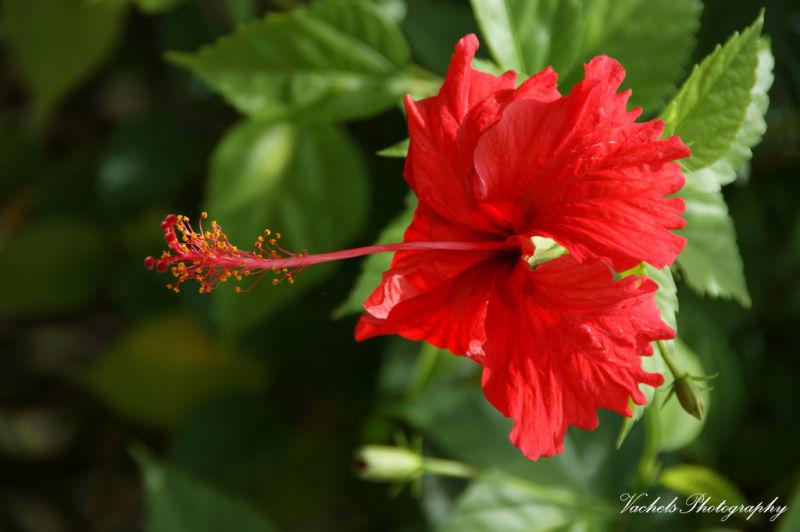 hibiscus aka bunga raya