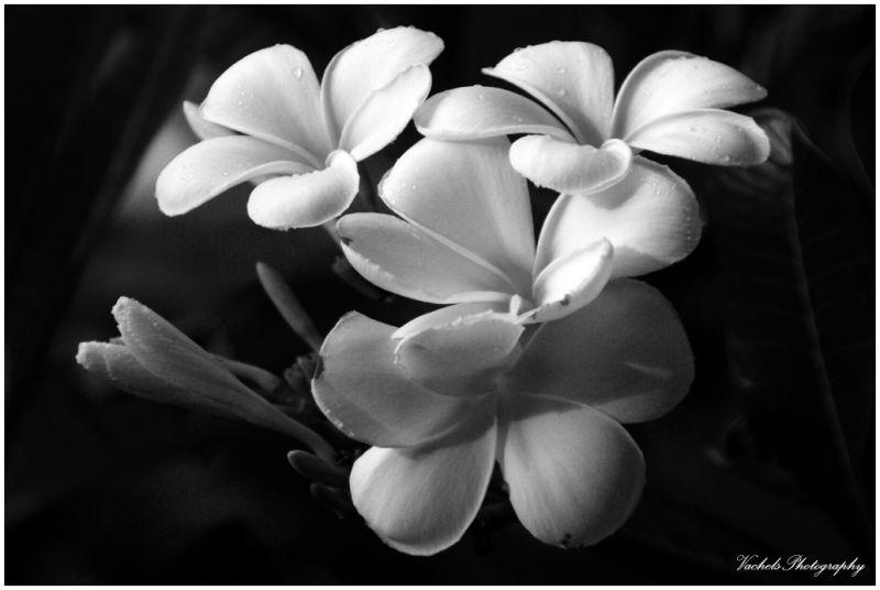 Pokok Bunga Kemboja