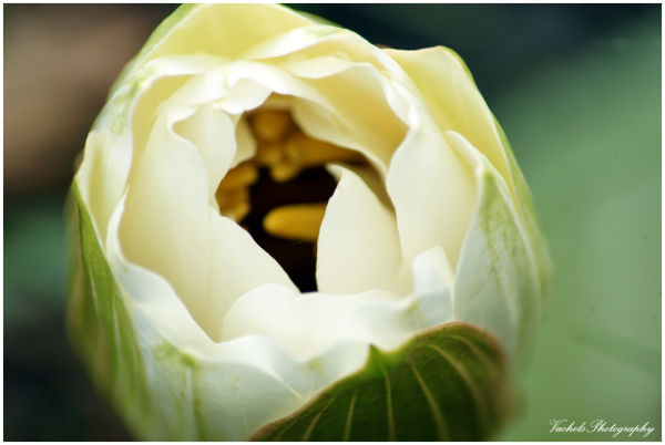 Water Lily bud