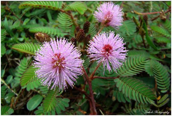 Mimosa pudica a.k.a pokok semalu