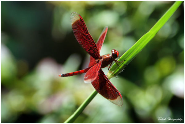 Dragonfly other a.k.a Neurothemis fulvia