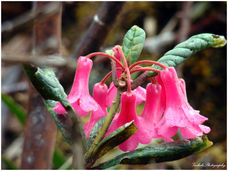Pink bell flower
