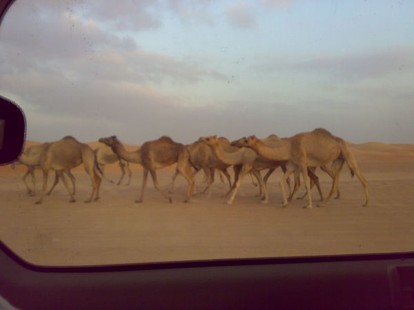 Camel..