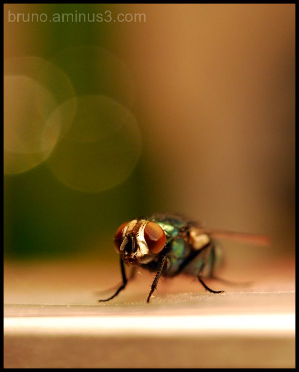 Musca domestica, Fly, Macro, Insects
