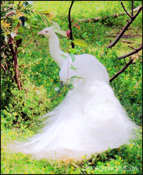 """Bridal White Peacock"""