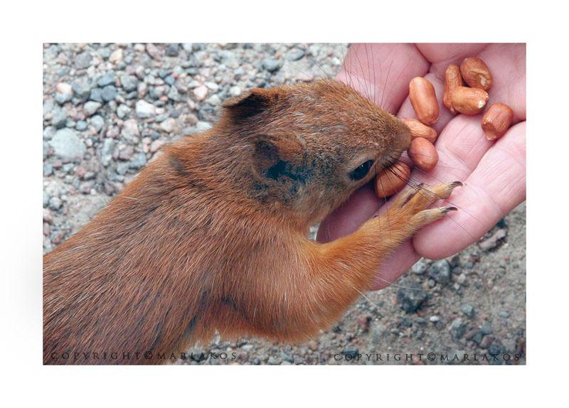 squirrel, animal