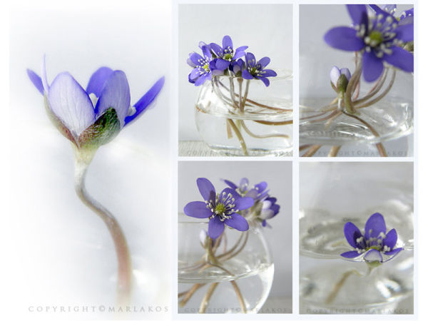 Kidneywort/Hepatica nobilis