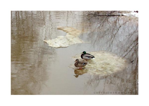 Duck couple on ice