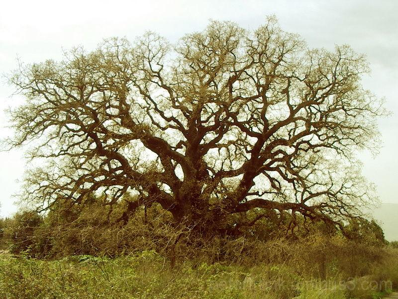 tree galil oak plant nature